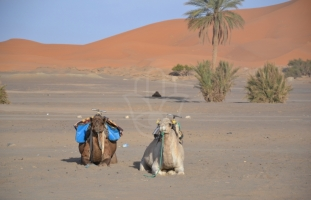 Camels from Hassilabied